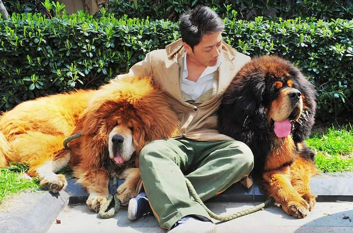 most expensive Tibetan Mastiff